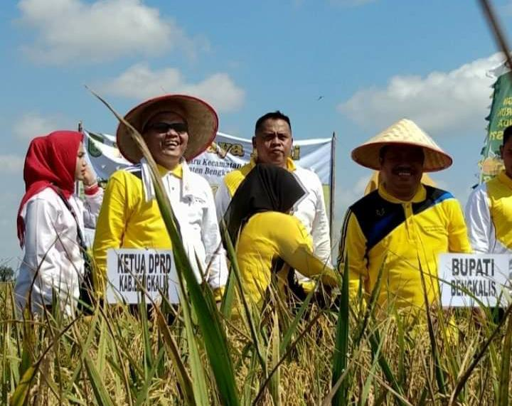 Ketua DPRD Bersama Bupati Kab. Bengkalis Panen Raya Padi Di Desa Harapan Baru